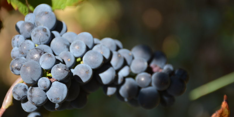 Vendanges 2019 : une moitié de récolte sur la Côte des vins en Bourgogne