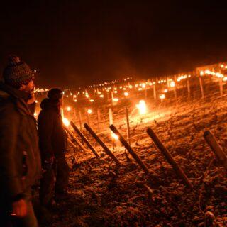 Gelée noire : les blancs très touchés cette nuit par les températures négatives sur la Côte de Beaune (diaporama)
