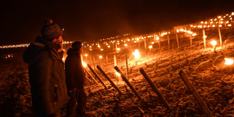 Gelée noire – Nuits blanches : les blancs très touchés cette nuit par les températures négatives sur la Côte de Beaune (diaporama)